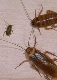 Roaches - Roach Extermination Miami FL & Roach Extermination Miami FL   Roach Control
